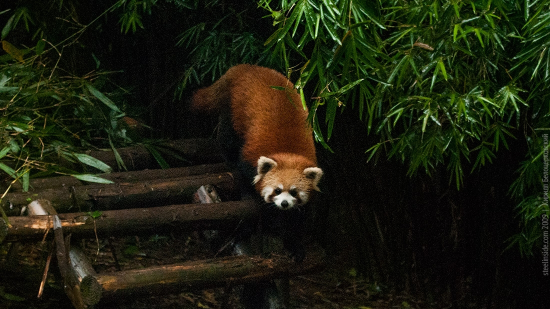 Красная панда в Ченду