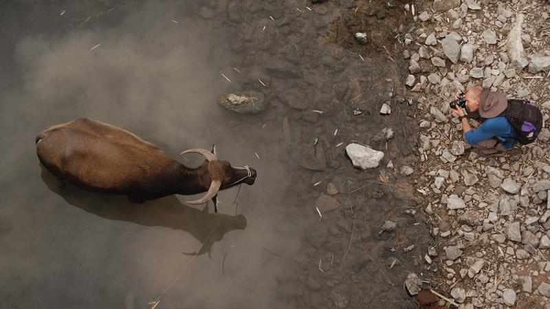 Бык на реке Ли