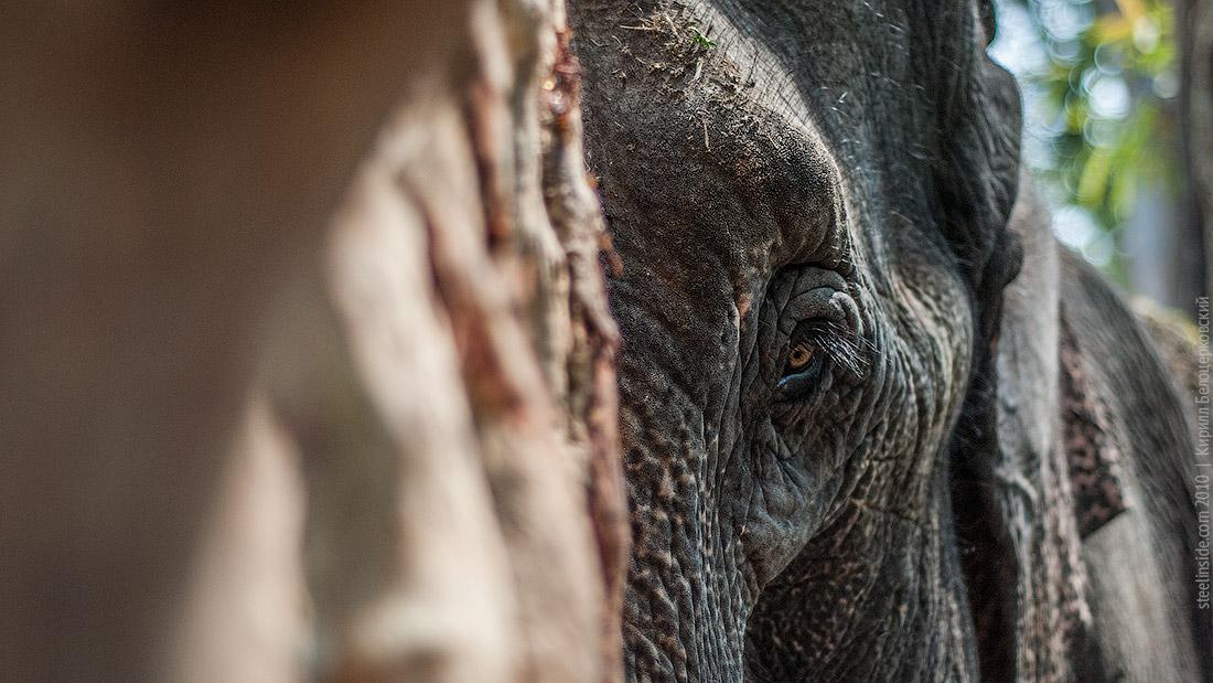 Слон прячется за деревом