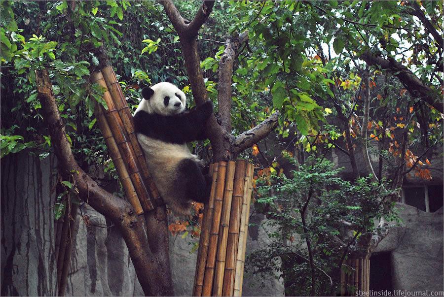 Панда на дереве в Ченду