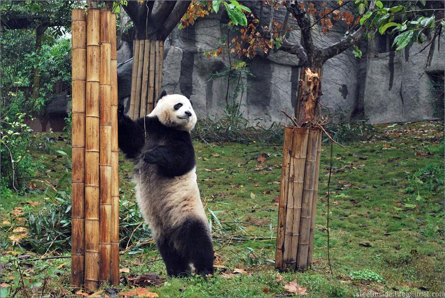 Панда из центра разведения и исследования панд, Ченду