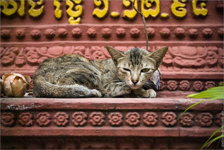 Кхмерский кот подозревает