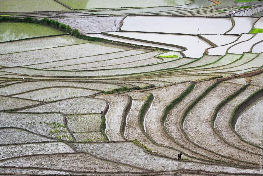 Рис на Суматре