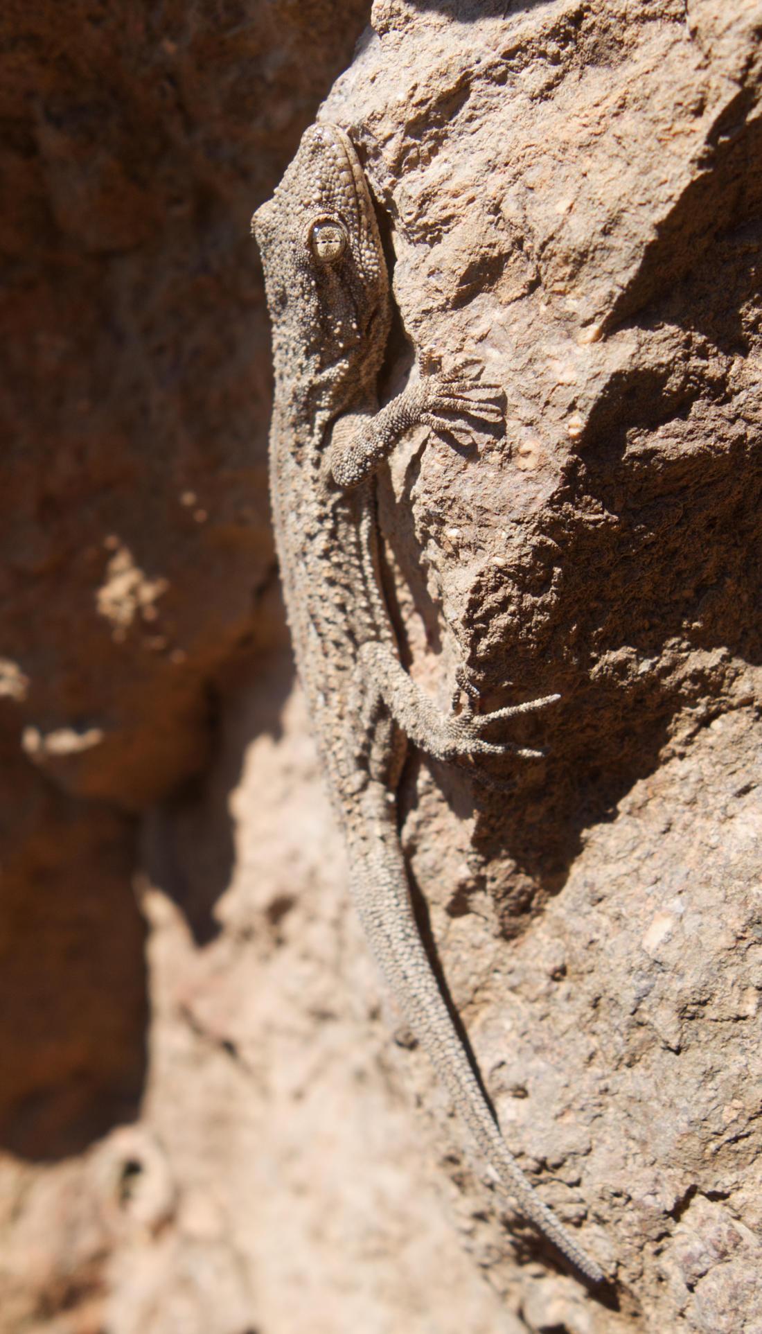 Серый геккон под Висячим камнем